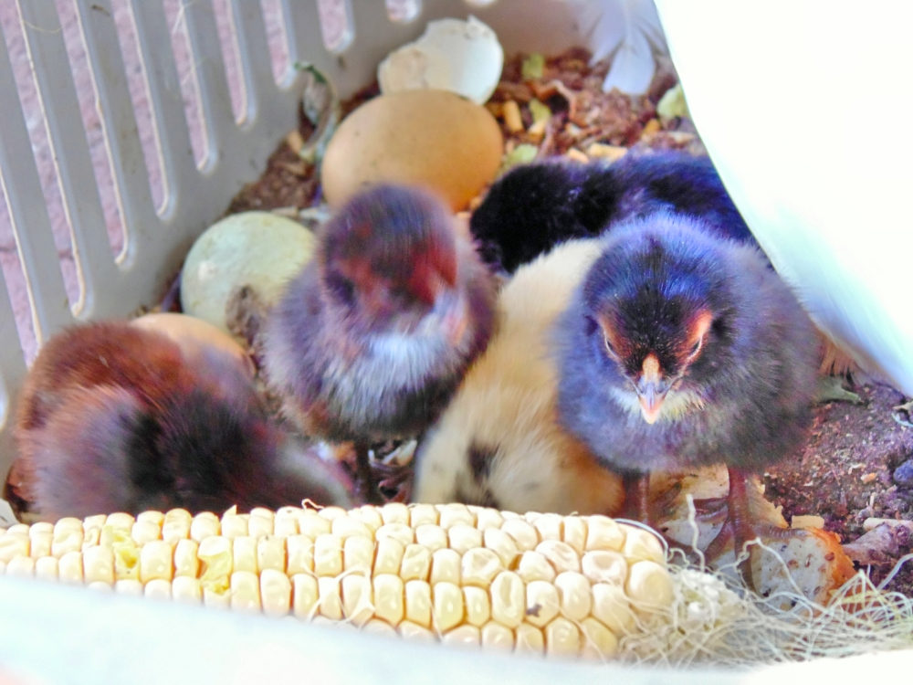 The hungry chicks