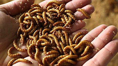 Live mealworms in Skye's hand. Photo: Edible Bug Shop